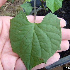 Leaves: Ipomoea coccinea. ~ By Rebekah Wallace. ~ Copyright © 2020 CC BY-NC 3.0. ~  ~ Bugwood - www.bugwood.org/