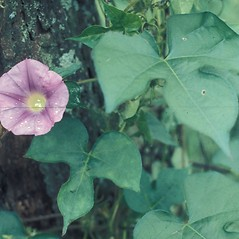 Leaves: Ipomoea hederacea. ~ By Lawrence Newcomb. ~ Copyright © 2020 New England Wild Flower Society. ~ Image Request, images[at]newenglandwild.org