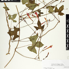 Plant form: Ipomoea hederifolia. ~ By William and Linda Steere and the C.V. Starr Virtual Herbarium. ~ Copyright © 2020 William and Linda Steere and the C.V. Starr Virtual Herbarium. ~ Barbara Thiers, Director; bthiers[at]nybg.org ~ C.V. Starr Herbarium - NY Botanical Gardens