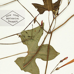 Leaves: Ipomoea hederifolia. ~ By William and Linda Steere and the C.V. Starr Virtual Herbarium. ~ Copyright © 2019 William and Linda Steere and the C.V. Starr Virtual Herbarium. ~ Barbara Thiers, Director; bthiers[at]nybg.org ~ C.V. Starr Herbarium - NY Botanical Gardens