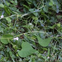 Plant form: Ipomoea lacunosa. ~ By Steven Baskauf. ~ Copyright © 2018 CC-BY-NC-SA. ~  ~ Bioimages - www.cas.vanderbilt.edu/bioimages/frame.htm