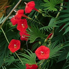 Flowers: Ipomoea quamoclit. ~ By Paul S. Drobot. ~ Copyright © 2019 Paul S. Drobot. ~ www.plantstogrow.com, www.plantstockphotos.com ~ Robert W. Freckmann Herbarium, U. of Wisconsin-Stevens Point