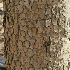 Bark: Benthamidia florida. ~ By Alexey Zinovjev. ~ Copyright © 2017. ~ webmaster[at]salicicola.com ~ Salicicola - www.salicicola.com/