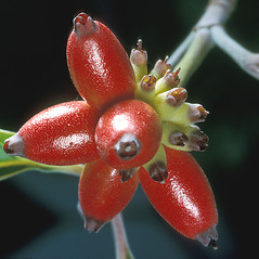 Fruits: Benthamidia florida. ~ By Adelaide Pratt. ~ Copyright © 2019 New England Wild Flower Society. ~ Image Request, images[at]newenglandwild.org