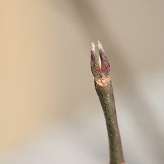 Winter buds: Benthamidia florida. ~ By Arieh Tal. ~ Copyright © 2018 Arieh Tal. ~ http://botphoto.com/ ~ Arieh Tal - botphoto.com