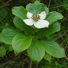 Flowers: Chamaepericlymenum canadense. ~ By Glen Mittelhauser. ~ Copyright © 2020 Glen Mittelhauser. ~ www.mainenaturalhistory.org