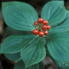 Fruits: Chamaepericlymenum canadense. ~ By John Lynch. ~ Copyright © 2019 New England Wild Flower Society. ~ Image Request, images[at]newenglandwild.org