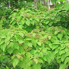 Plant form: Swida alternifolia. ~ By Glen Mittelhauser. ~ Copyright © 2019 Glen Mittelhauser. ~ www.mainenaturalhistory.org