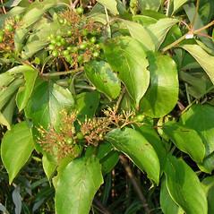 Leaves: Swida amomum. ~ By Alexey Zinovjev. ~ Copyright © 2018. ~ webmaster[at]salicicola.com ~ Salicicola - www.salicicola.com/