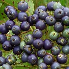 Fruits: Swida amomum. ~ By Alexey Zinovjev. ~ Copyright © 2018. ~ webmaster[at]salicicola.com ~ Salicicola - www.salicicola.com/