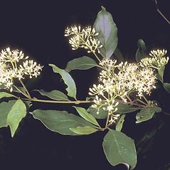 Flowers: Swida racemosa. ~ By Frank Bramley. ~ Copyright © 2019 New England Wild Flower Society. ~ Image Request, images[at]newenglandwild.org