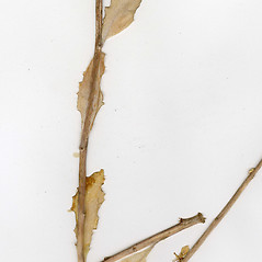 Leaves: Hylotelephium erythrostictum. ~ By CONN Herbarium. ~ Copyright © 2019 CONN Herbarium. ~ Requests for image use not currently accepted by copyright holder ~ U. of Connecticut Herbarium - bgbaseserver.eeb.uconn.edu/