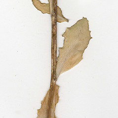 Stems: Hylotelephium erythrostictum. ~ By CONN Herbarium. ~ Copyright © 2019 CONN Herbarium. ~ Requests for image use not currently accepted by copyright holder ~ U. of Connecticut Herbarium - bgbaseserver.eeb.uconn.edu/