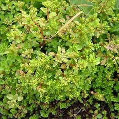 Plant form: Phedimus stoloniferus. ~ By David Fenwick. ~ Copyright © 2019 David Fenwick. ~ davidfenwicksnr[at]googlemail.com ~ www.aphotoflora.com