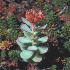 Plant form: Rhodiola rosea. ~ By Frank Bramley. ~ Copyright © 2018 New England Wild Flower Society. ~ Image Request, images[at]newenglandwild.org