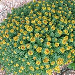 Plant form: Rhodiola rosea. ~ By Marilee Lovit. ~ Copyright © 2018 Marilee Lovit. ~ lovitm[at]gmail.com