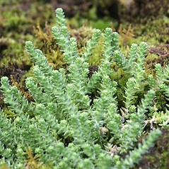 Plant form: Sedum acre. ~ By Arieh Tal. ~ Copyright © 2018 Arieh Tal. ~ http://botphoto.com/ ~ Arieh Tal - botphoto.com