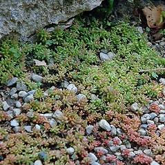 Plant form: Sedum album. ~ By Paul S. Drobot. ~ Copyright © 2020 Paul S. Drobot. ~ www.plantstogrow.com, www.plantstockphotos.com ~ Robert W. Freckmann Herbarium, U. of Wisconsin-Stevens Point