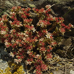 Plant form: Sedum hispanicum. ~ By Glen Mittelhauser. ~ Copyright © 2019 Glen Mittelhauser. ~ www.mainenaturalhistory.org