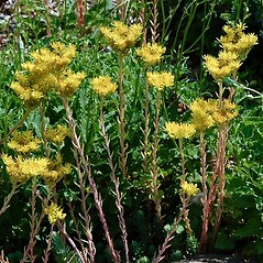 Flowers: Sedum ochroleucum. ~ By Paul S. Drobot. ~ Copyright © 2019 Paul S. Drobot. ~ www.plantstogrow.com, www.plantstockphotos.com ~ Robert W. Freckmann Herbarium, U. of Wisconsin-Stevens Point
