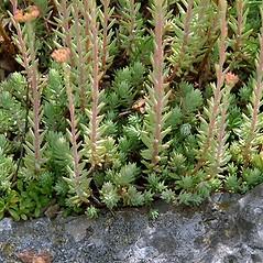 Leaves: Sedum ochroleucum. ~ By Paul S. Drobot. ~ Copyright © 2018 Paul S. Drobot. ~ www.plantstogrow.com, www.plantstockphotos.com ~ Robert W. Freckmann Herbarium, U. of Wisconsin-Stevens Point