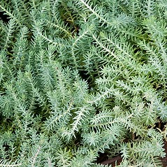 Leaves: Sedum reflexum. ~ By Paul S. Drobot. ~ Copyright © 2017 Paul S. Drobot. ~ www.plantstogrow.com, www.plantstockphotos.com ~ Robert W. Freckmann Herbarium, U. of Wisconsin-Stevens Point
