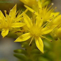 Flowers: Sedum sexangulare. ~ By John Crellin. ~ Copyright © 2020 © J.R. Crellin. ~ Floralimages www.floralimages.co.uk ~ Floral Images - www.floralimages.co.uk