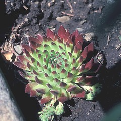 Additional features: Sempervivum tectorum. ~ By John Lynch. ~ Copyright © 2019 New England Wild Flower Society. ~ Image Request, images[at]newenglandwild.org