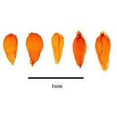 Fruits: Sempervivum tectorum. ~ By J.H. Kirkbride, C.R. Gunn, and M.J. Dallwitz. ~  Public Domain. ~  ~ nt.ars-grin.gov/sbmlweb/OnlineResources/SeedsFruits/rptSeedsFruitsFamData.cfm?thisFamily=Orchidaceae