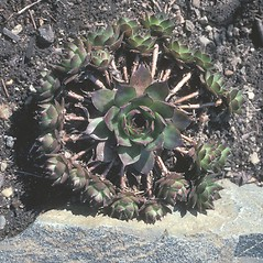 Leaves: Sempervivum tectorum. ~ By John Lynch. ~ Copyright © 2018 New England Wild Flower Society. ~ Image Request, images[at]newenglandwild.org