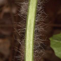 Stems: Citrullus lanatus. ~ By John Gwaltney. ~ Copyright © 2018 John Gwaltney. ~ southeasternflora.com ~ Southeastern Flora - www.southeasternflora.com/