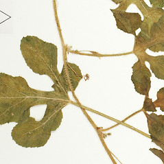 Leaves: Cucumis anguria. ~ By William and Linda Steere and the C.V. Starr Virtual Herbarium. ~ Copyright © 2019 William and Linda Steere and the C.V. Starr Virtual Herbarium. ~ Barbara Thiers, Director; bthiers[at]nybg.org ~ C.V. Starr Herbarium - NY Botanical Gardens