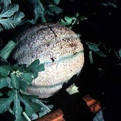 Fruits: Cucumis melo. ~ By Robert Freckmann. ~ Copyright © 2019 Robert Freckmann. ~ rfreckma[at]uwsp.edu ~ Robert W. Freckmann Herbarium, U. of Wisconsin-Stevens Point