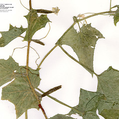 Leaves: Cucumis sativus. ~ By CONN Herbarium. ~ Copyright © 2018 CONN Herbarium. ~ Requests for image use not currently accepted by copyright holder ~ U. of Connecticut Herbarium - bgbaseserver.eeb.uconn.edu/