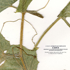 Stems: Cucumis sativus. ~ By CONN Herbarium. ~ Copyright © 2018 CONN Herbarium. ~ Requests for image use not currently accepted by copyright holder ~ U. of Connecticut Herbarium - bgbaseserver.eeb.uconn.edu/
