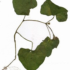 Plant form: Cucurbita pepo. ~ By CONN Herbarium. ~ Copyright © 2017 CONN Herbarium. ~ Requests for image use not currently accepted by copyright holder ~ U. of Connecticut Herbarium - bgbaseserver.eeb.uconn.edu/