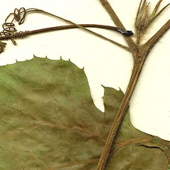 Stems: Cucurbita pepo. ~ By CONN Herbarium. ~ Copyright © 2017 CONN Herbarium. ~ Requests for image use not currently accepted by copyright holder ~ U. of Connecticut Herbarium - bgbaseserver.eeb.uconn.edu/