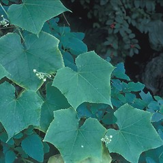 Leaves: Sicyos angulatus. ~ By Frank Bramley. ~ Copyright © 2019 New England Wild Flower Society. ~ Image Request, images[at]newenglandwild.org