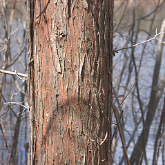 Bark: Chamaecyparis thyoides. ~ By Glenn Dreyer. ~ Copyright © 2019 Glenn Dreyer. ~ None needed