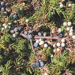 Fruits: Juniperus communis. ~ By Marilee Lovit. ~ Copyright © 2020 Marilee Lovit. ~ lovitm[at]gmail.com