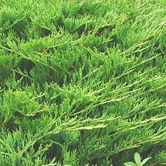 Plant form: Juniperus horizontalis. ~ By Glen Mittelhauser. ~ Copyright © 2019 Glen Mittelhauser. ~ www.mainenaturalhistory.org