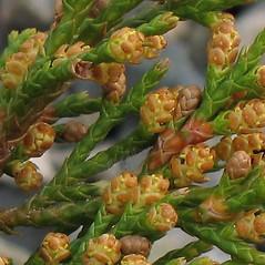 Flowers: Juniperus virginiana. ~ By Alexey Zinovjev. ~ Copyright © 2020. ~ webmaster[at]salicicola.com ~ Salicicola - www.salicicola.com/