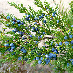Fruits: Juniperus virginiana. ~ By Dawn Dentzer. ~ Copyright © 2019. ~ dawndentzer[at]gmail.com