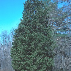 Plant form: Juniperus virginiana. ~ By Ray Angelo. ~ Copyright © 2019 New England Wild Flower Society. ~ Image Request, images[at]newenglandwild.org