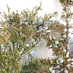 Comparison: Juniperus virginiana. ~ By Arieh Tal. ~ Copyright © 2020 Arieh Tal. ~ http://botphoto.com/ ~ Arieh Tal - botphoto.com