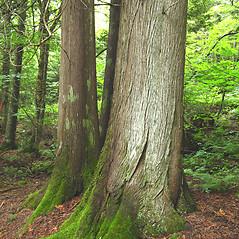 Bark: Thuja occidentalis. ~ By Donna Kausen. ~ Copyright © 2020 Donna Kausen. ~ 33 Bears Den, Addison, ME 04606