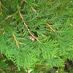 Leaves: Thuja occidentalis. ~ By Donna Kausen. ~ Copyright © 2019 Donna Kausen. ~ 33 Bears Den, Addison, ME 04606