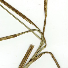 Leaves and auricles: Bolboschoenus glaucus. ~ By CONN Herbarium. ~ Copyright © 2019 CONN Herbarium. ~ Requests for image use not currently accepted by copyright holder ~ U. of Connecticut Herbarium - bgbaseserver.eeb.uconn.edu/