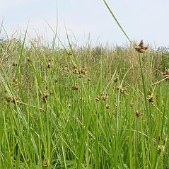 Plant form: Bolboschoenus maritimus. ~ By Glen Mittelhauser. ~ Copyright © 2018 Glen Mittelhauser. ~ www.mainenaturalhistory.org