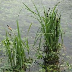 Plant form: Carex acutiformis. ~ By Franco Giordana. ~ Copyright © 2017 Franco Giordana. ~ francogrd[at]gmail.com ~ www.luirig.altervista.org